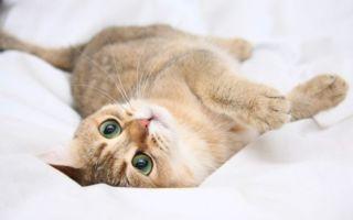 Все про течку у кошек