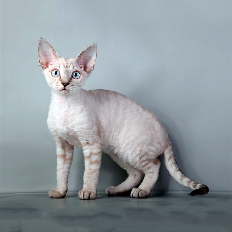 Порода кошек Корниш Рекс: 130 фото, видео описание кошек и советы по уходу за породой