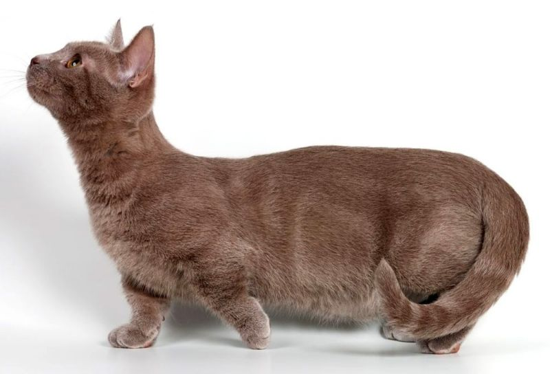 Кот с короткими