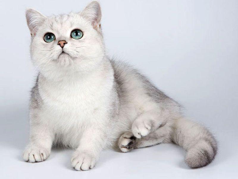 Порода кошек сибирская шиншилла thumbnail