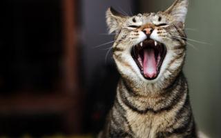 Стоматит у кошек