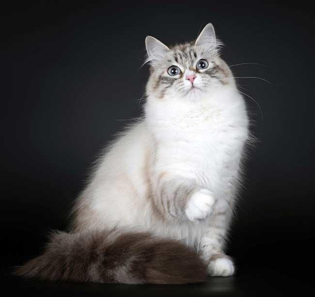 Кота невской маскарадной породы для кошки thumbnail