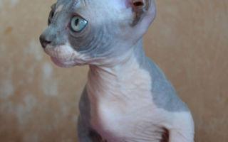 серо-белый котенок бамбино