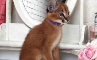 котенок каракала с ошейником