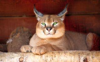 каракал с зелеными глазами
