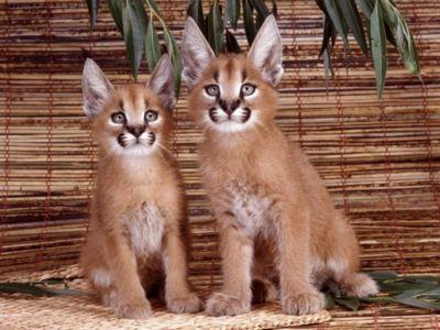 два котенка каракала