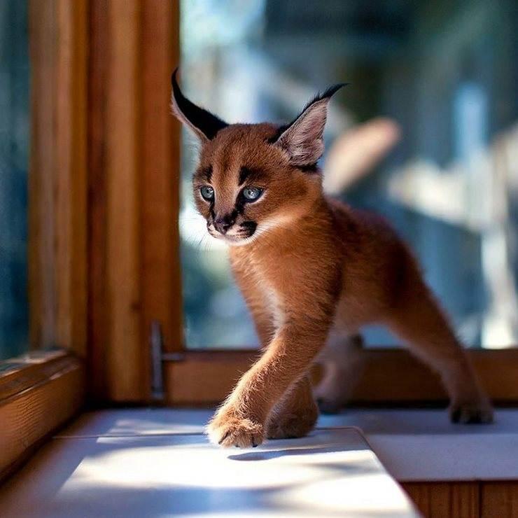 котенок породы каракал у окна