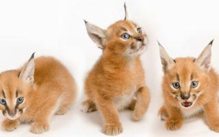 три котенка каракала