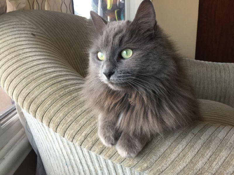 кошка нибелунг в кресле