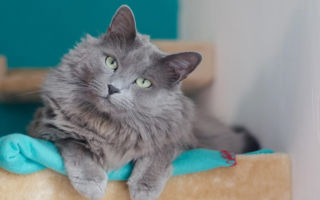 серая кошка нибелунг с зелеными глазами