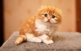 рыжий котенок хайленд-фолда