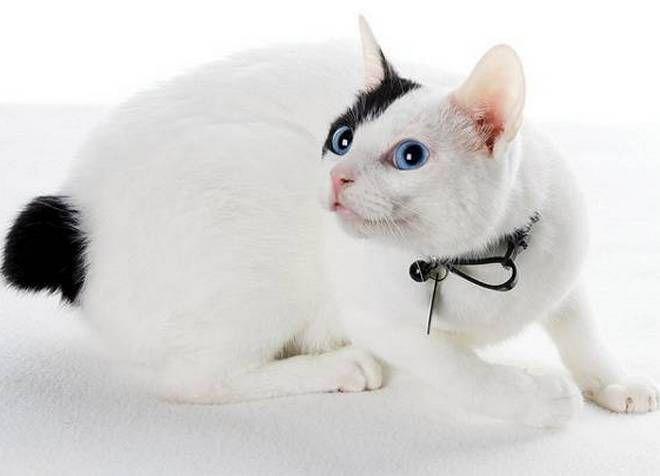Черно-белый бобтейл с голубыми глазами