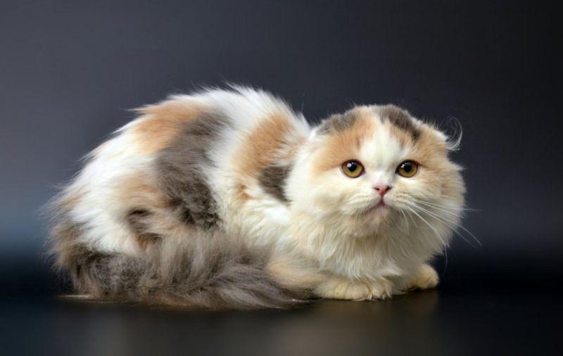 шотландская вислоухая длинношерстная кошка трехцветная