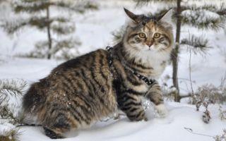 Курильский бобтейл на снегу