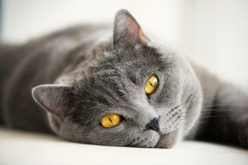 Диабет у кошек и котов