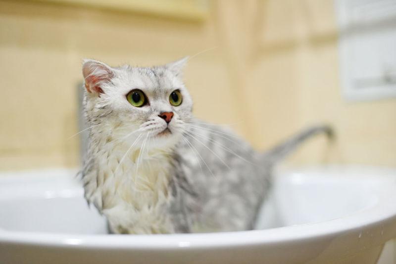 Купание кошки при акне
