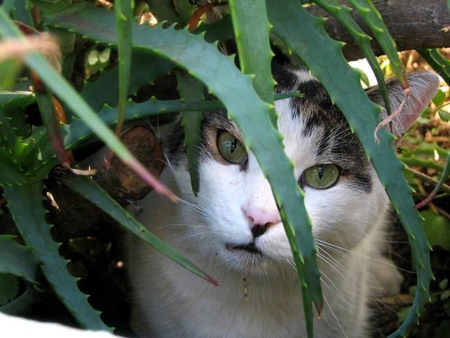 Алоэ вера для лечения прыщей у кошек