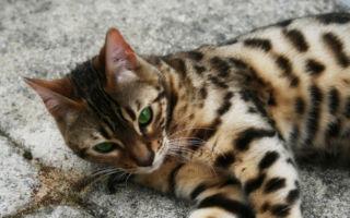 Бенгальская кошка лежит на ковре