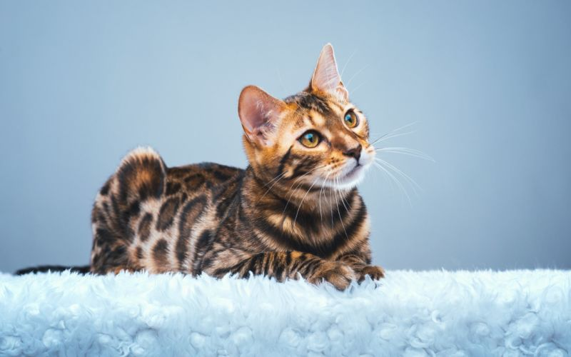 Бенгальская кошка на меху