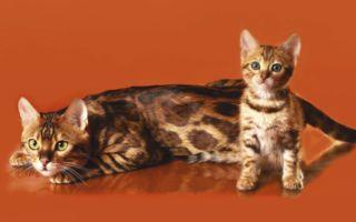 Взрослый бенгал и котенок