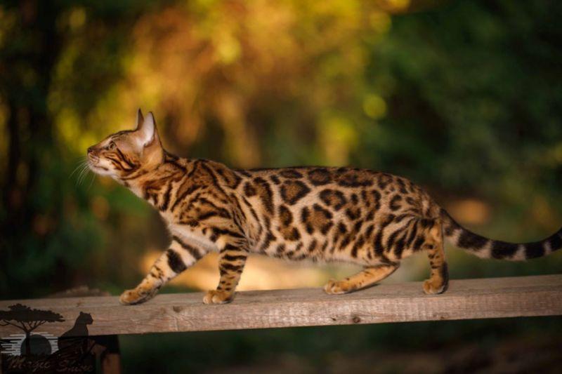 Бенгальская кошка на природе