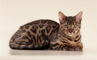 Темный бенгальский кот