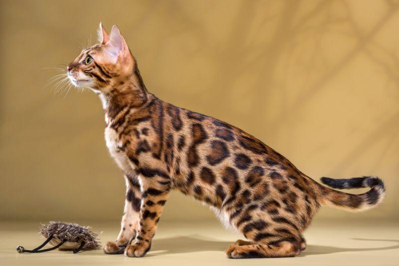 Бенгальская кошка с игрушкой