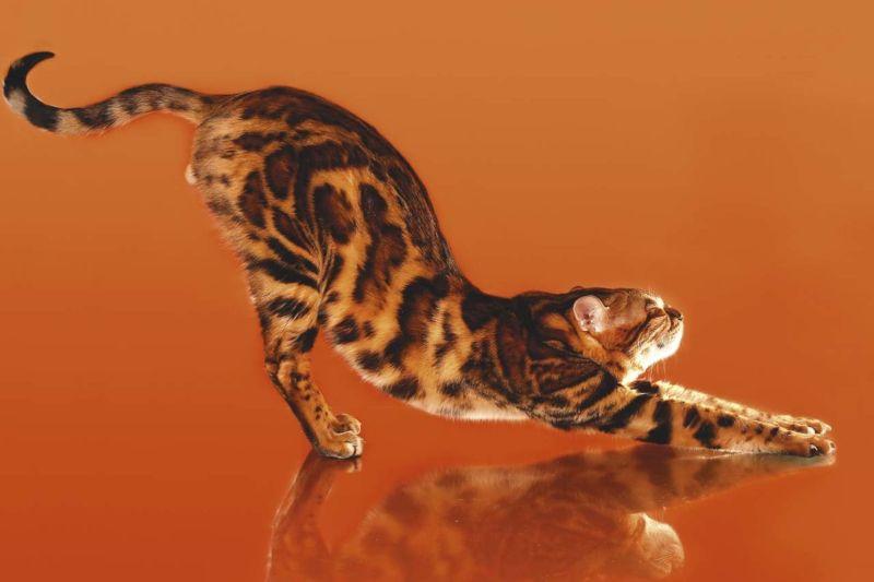 Тянущийся бенгальский кот