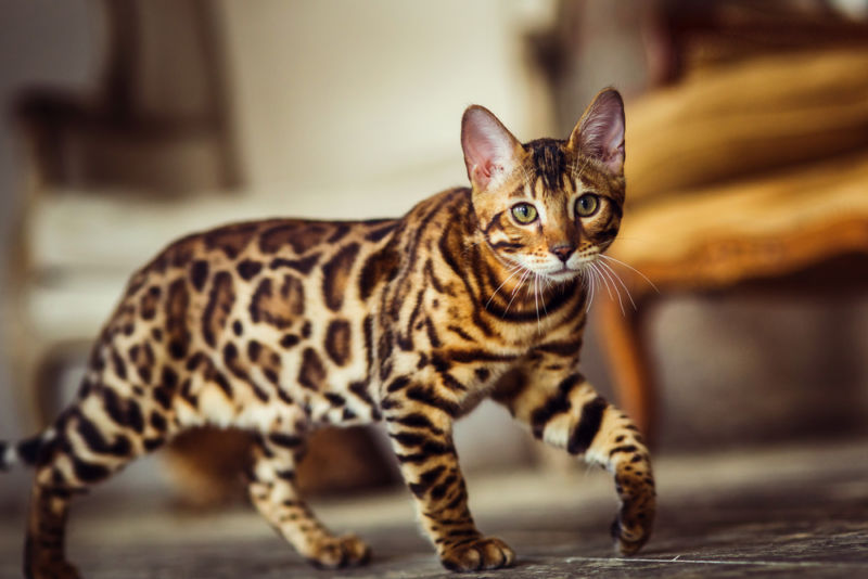 Бенгальский кот в движении