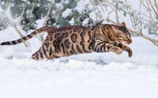 Бенгальский кот на снегу