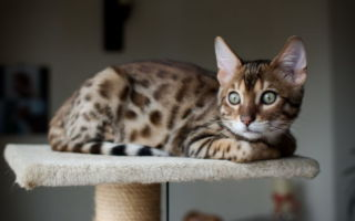 Бенгальский кот на платформе