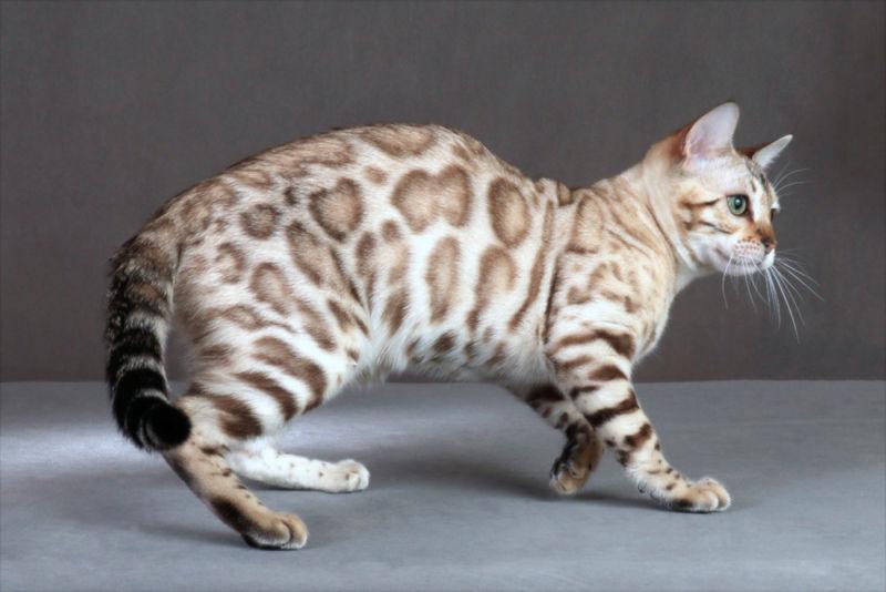 Светлый бенгальский кот