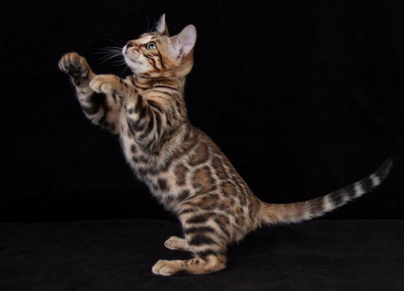 Котенок бенгала на задних лапах