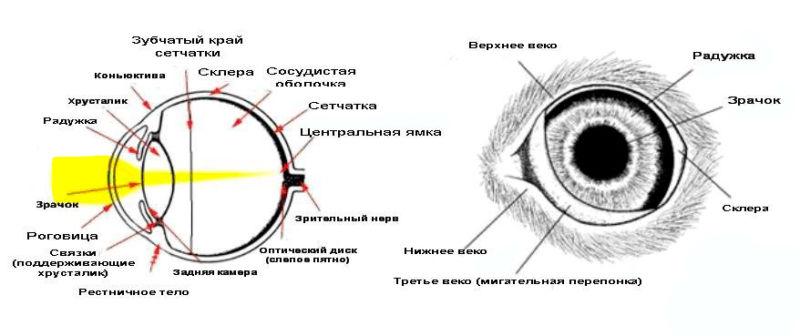 Анатомическое строение глаз кошки