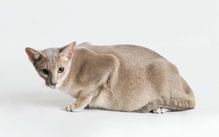 Беременная ориентальная кошка