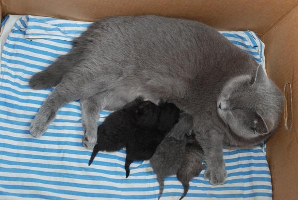 Британка с родившимися котятами