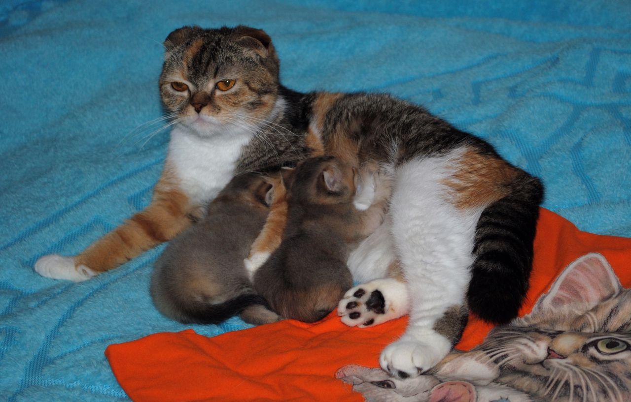 Родившая шотландская вислоухая кошка