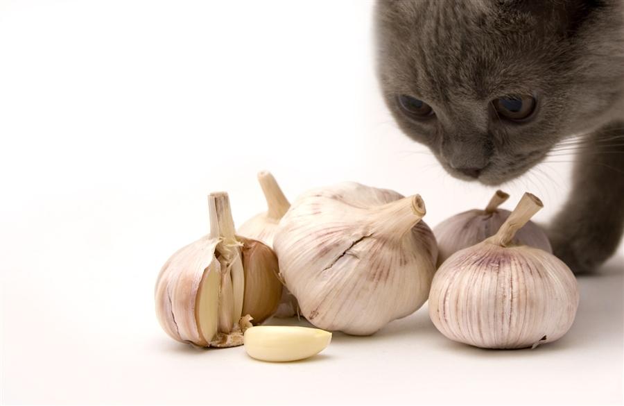 Кот нюхает чеснок