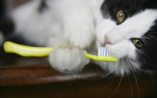 Кошка и зубная щетка