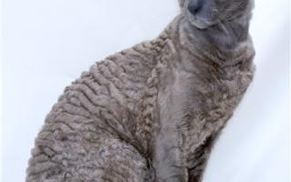 Серый кот корниш-рекс