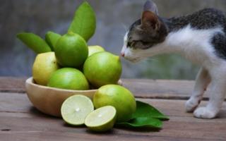 Кошка и лаймы