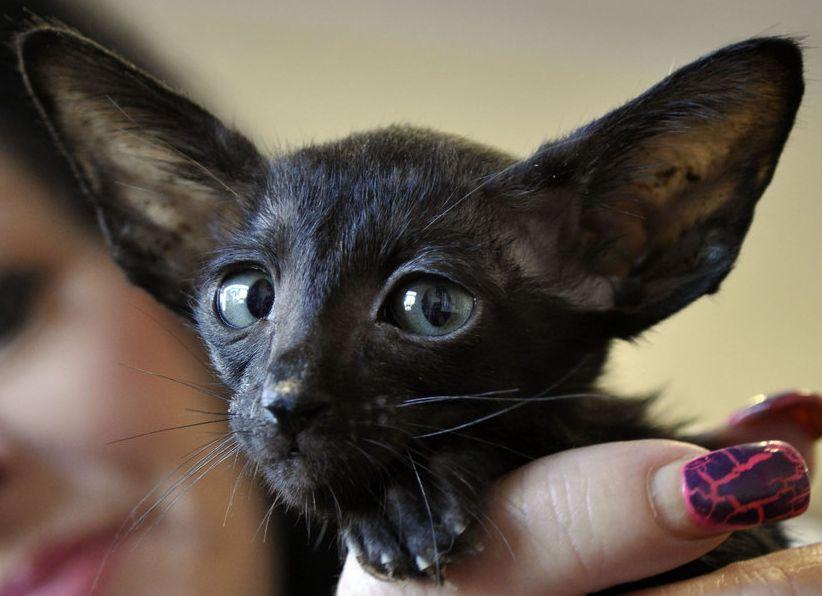 Черный ориентальный котенок