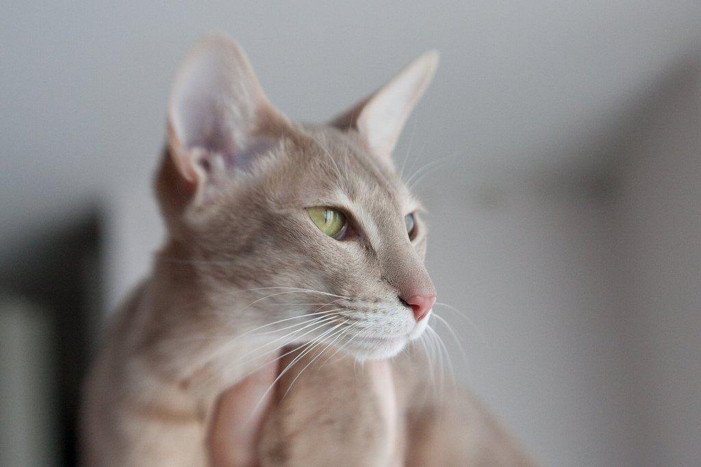 Светло бежевая ориентальная кошка