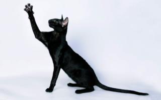 Черный окрас ориентальной кошки