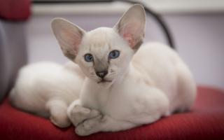 Котенок ориентала с белым окрасом