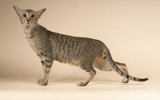 Окрас табби у ориентального кота