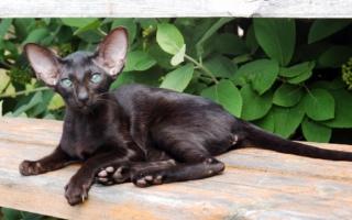 Черный котенок ори с голубыми глазами