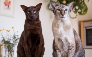 Черная и светло серая ориентальные кошки