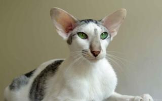Ориентальная кошка с зелеными глазами