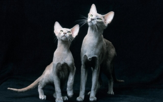 Светло-серые ориентальные кошки